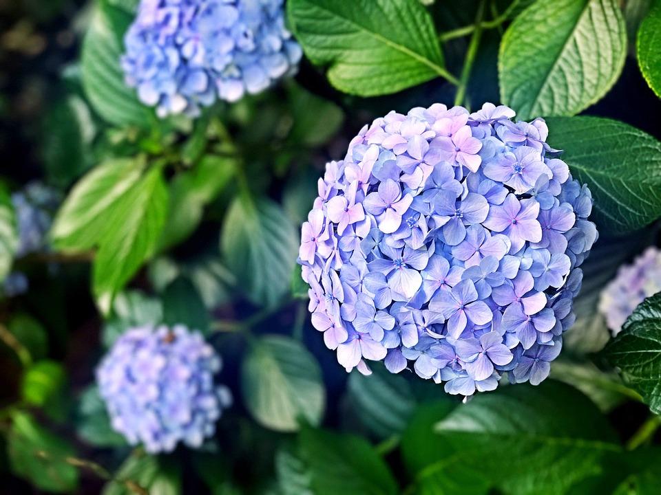 Hydrangea, Flowers, Flower, Rainy Season, Plant, June
