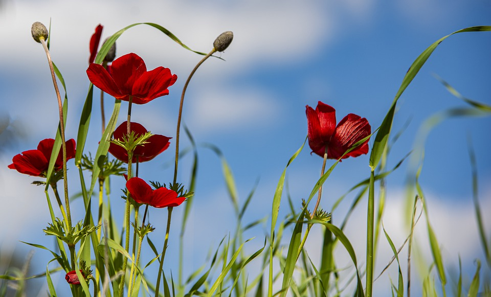 Anemone, Nature, Flower, Plant, Winter, Flora, Red