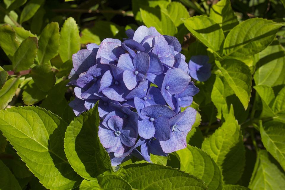 Hydrangea, Flower, Nature, Blossom, Bloom, Plant, Blue