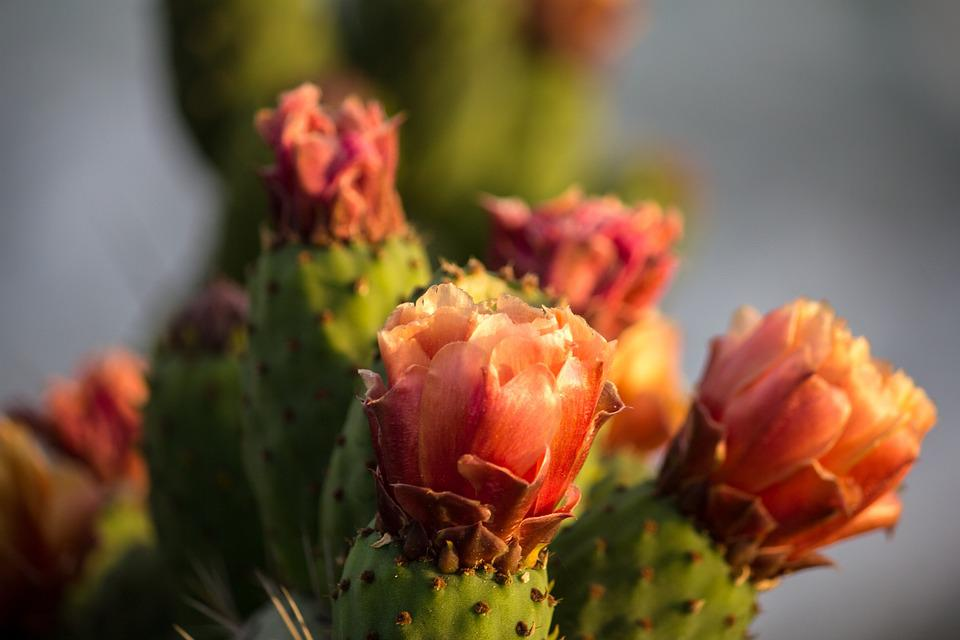 Cactus, Flower, Plant, Green, Nature, Botany, Garden