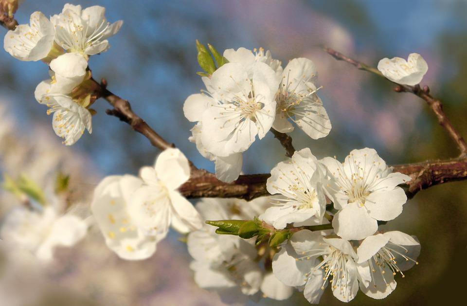Flower, Cherry, Tree, Plant, Nature, Spring, Freshness