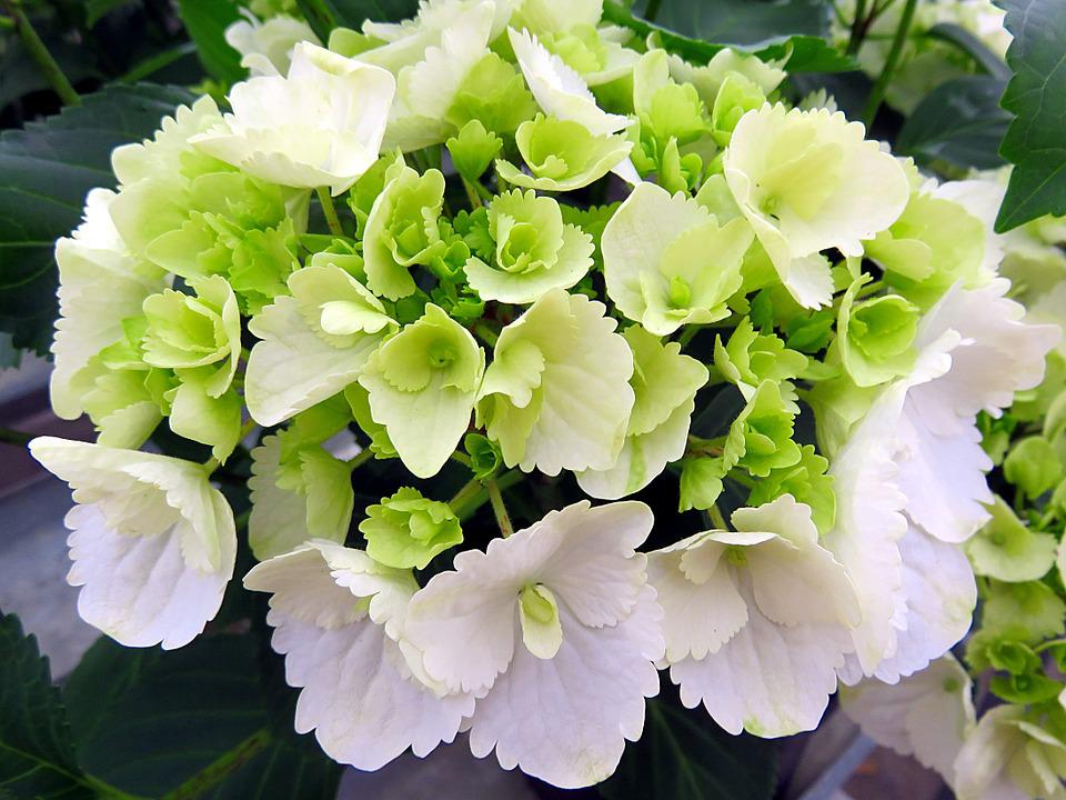 Nature, Plant, Flower, Hydrangea, White, Green