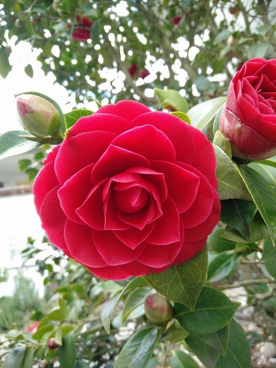 Flower, Rose, Nature, Plant