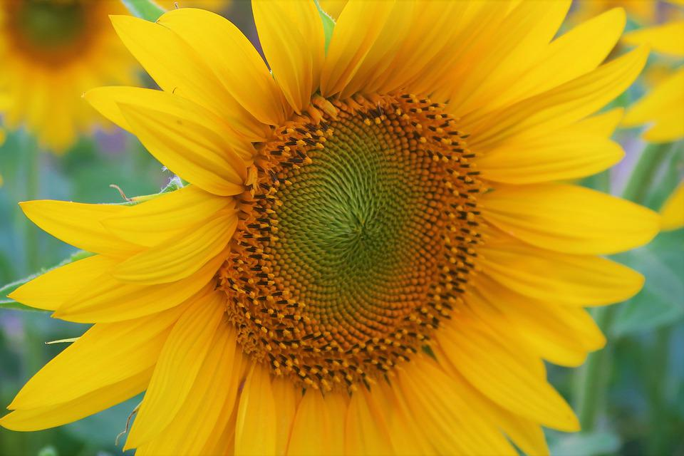 Flower, Sunflower, Summer, Plant, Yellow, Nature, Solar