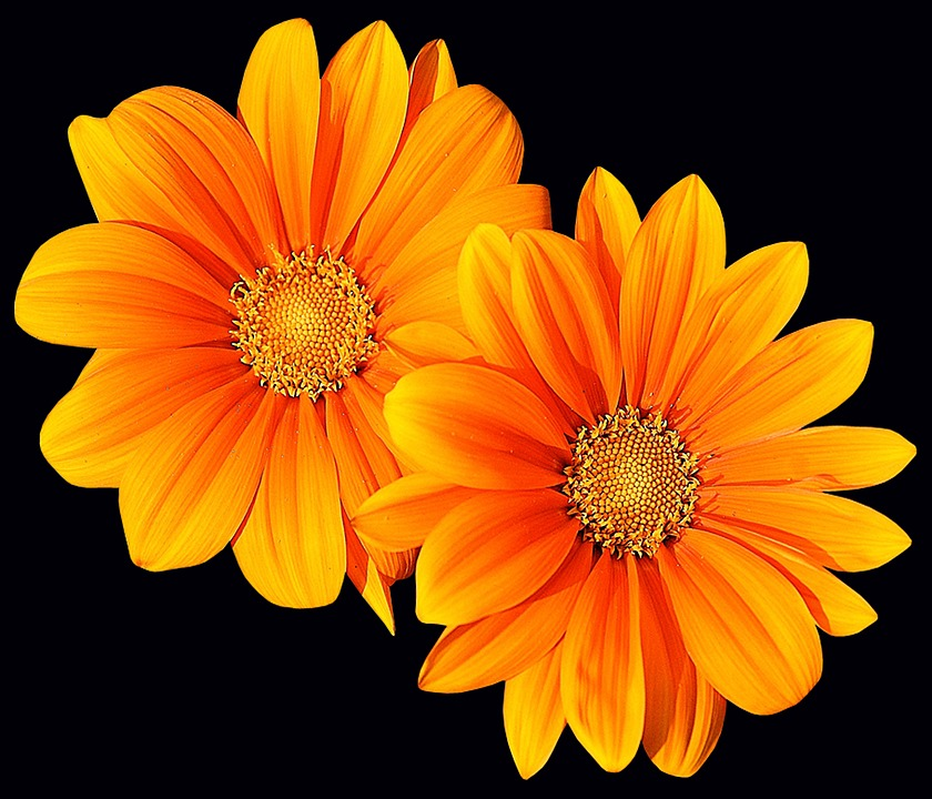 Flower, Petal, Plant, Nature, Floral, Black Background