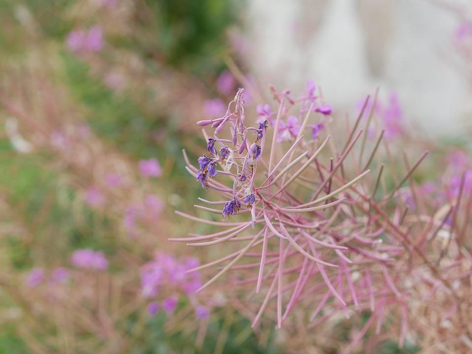 Flower, Purple, Pink, Plant