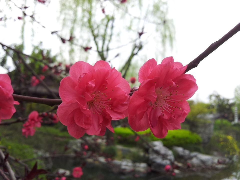 Flower, Plant, Plum Blossom