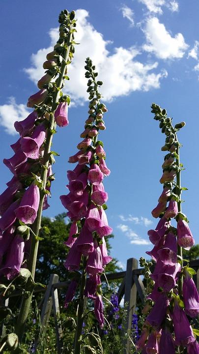 Foxglove, Flower, Pink, Summer, Nature, Purple, Plant