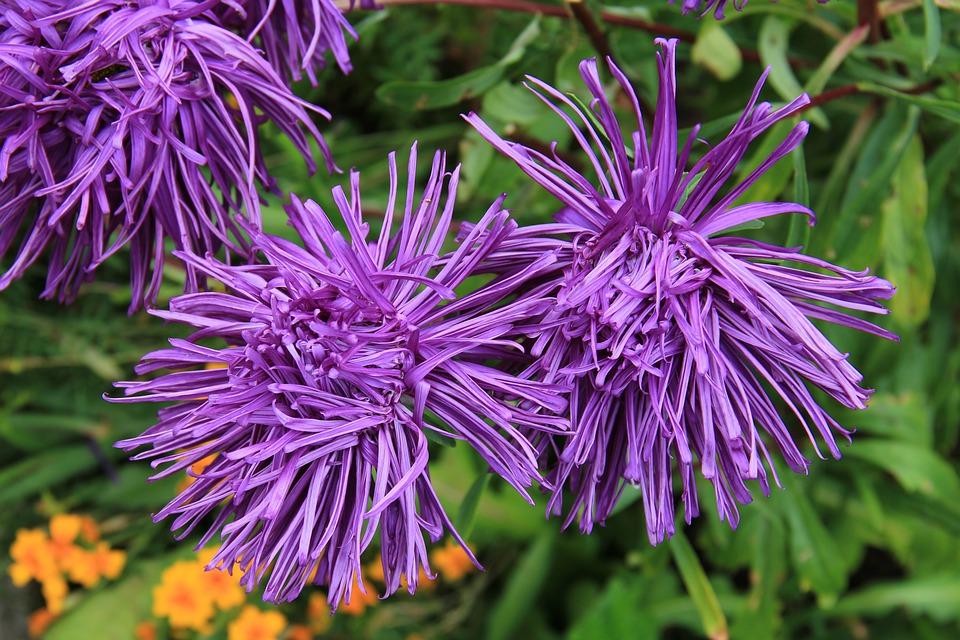 Rays Aster, Aster, Blossom, Bloom, Plant, Flower