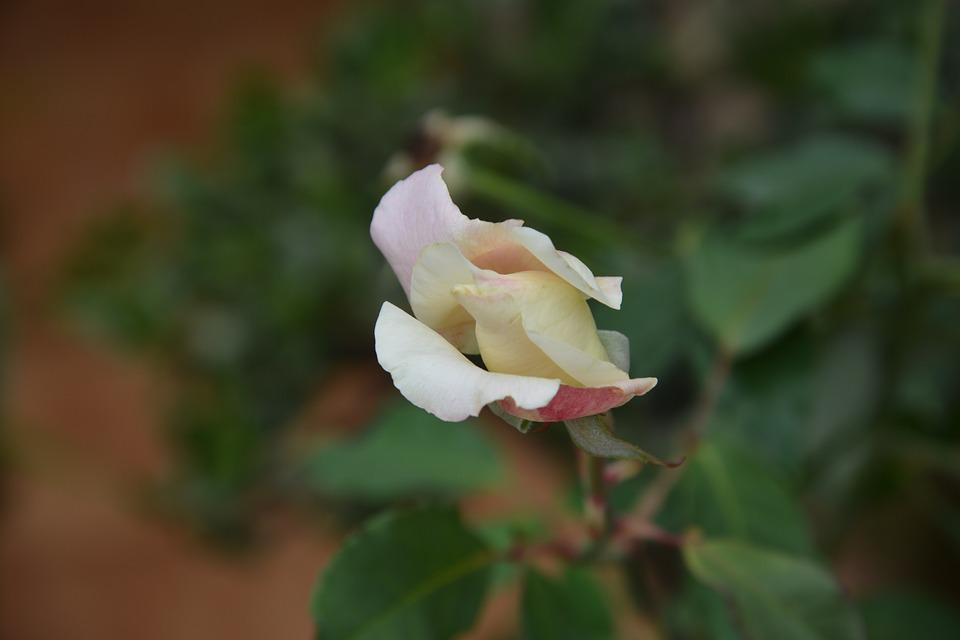 Flower, Rosa, Plant, Button, Rose Bush, Nature