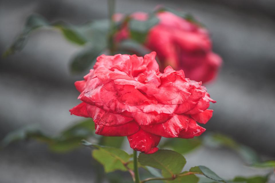 Flowers, Rose, Background Conditions, Flower, Plant