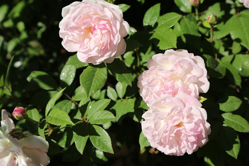 Flower, Plant, Garden, Leaves, Rose