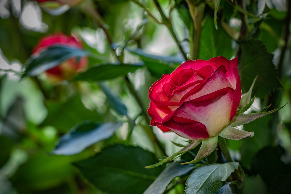 Rose, Flower, Plant, Nature, Love, Red, Roses, Romantic