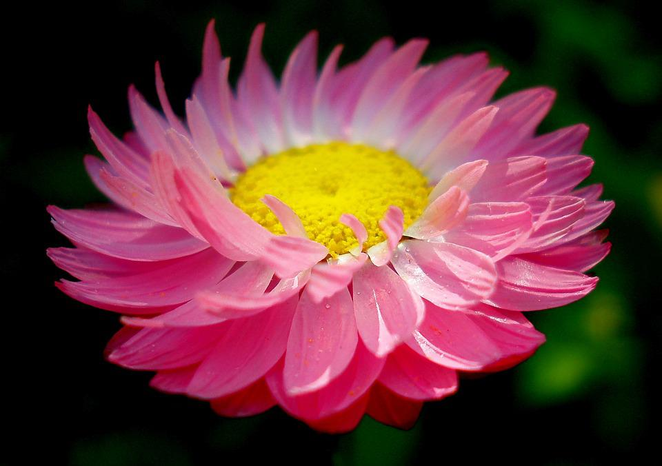 Flower, Spring, Daisy, Pink, Flowers, Plant, Summer