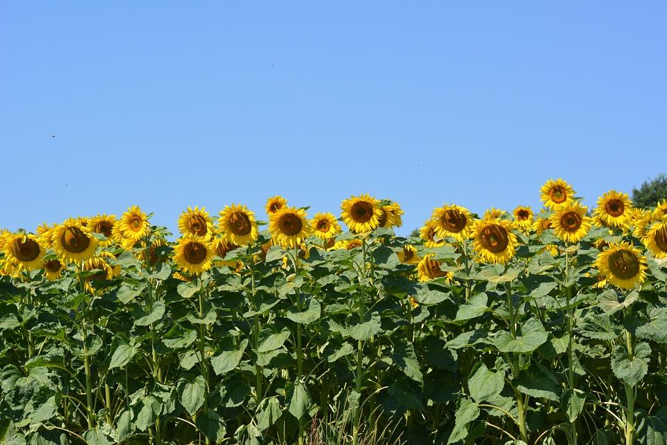 Sun Flower, Plant, Flower, Nature