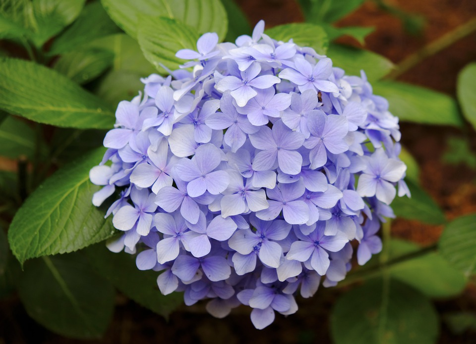 Hydrangea, The Scenery, Flower, Plant, Purple, Flowers
