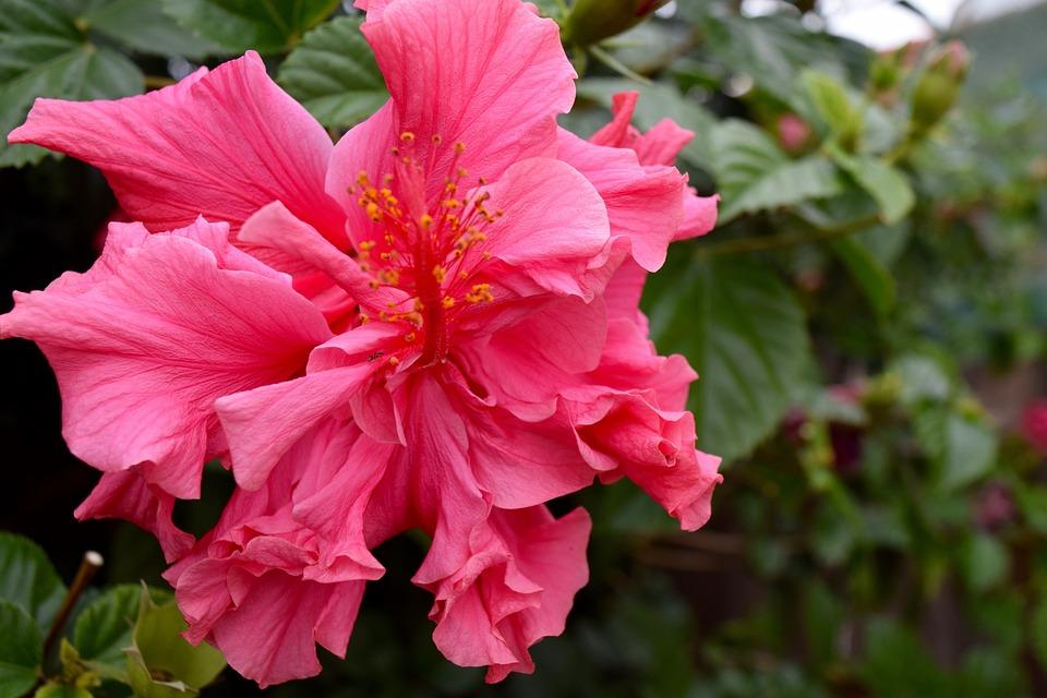 Flower, Hibiscus, Hawaii, Plant, Tropical, Stamen