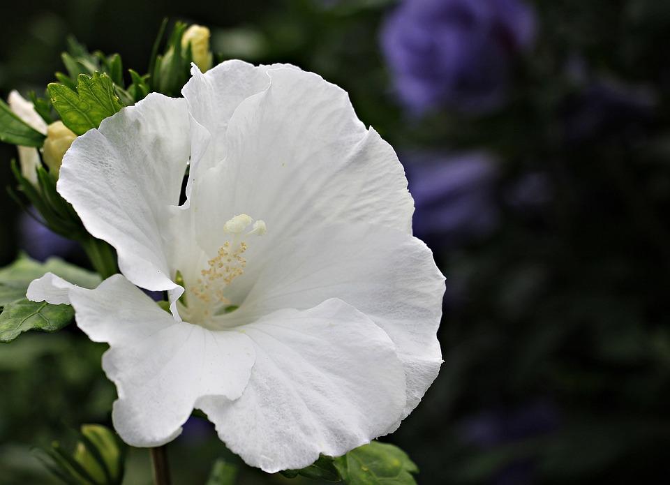 Mallow, Flower, Blossom, Bloom, Plant, White