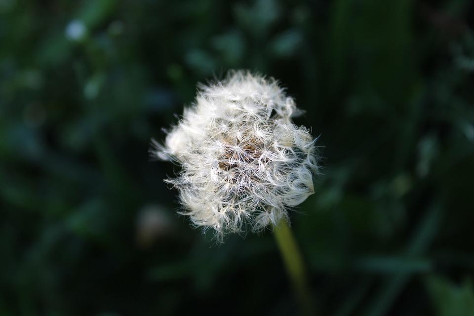 Dandelion, Nature, Flower, Plant, Wild Flower