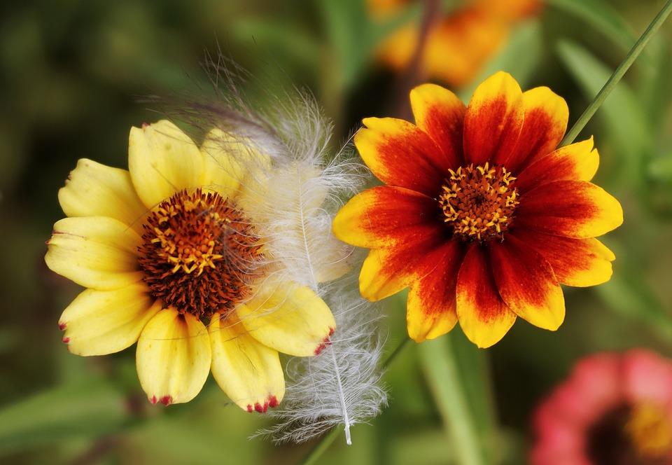 Zinie, Flower, Summer, Blossom, Bloom, Plant, Close