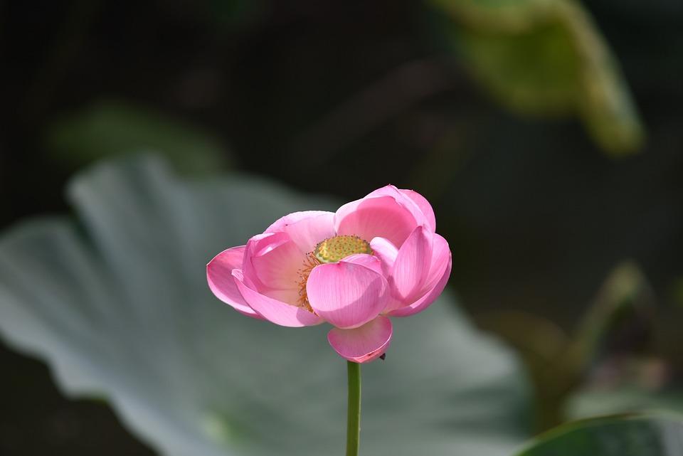 Flowers, Plant, Lotus, Pond, Aquatic Plant