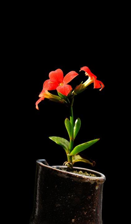 Kalanchoe, Flowers, Plant, Red Flowers, Petals, Bloom