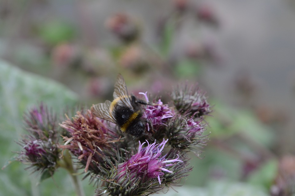 Bumblebee, Insect, Thistle, Bee, Animal, Flowers, Plant