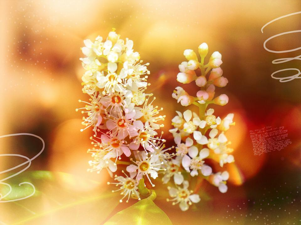 Laurel Blossom, Flowers, Plant, Bush, Font