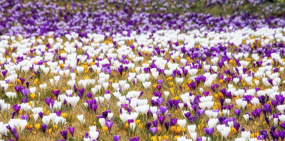 Crocus, Flowers, Plant, Spring, Colorful, White, Purple