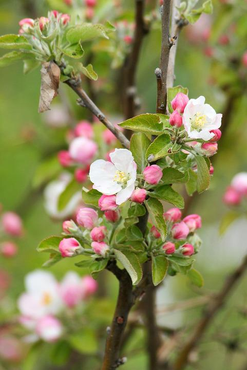 Nature, Plant, Flower, Garden, Flowers, Bush, Spring