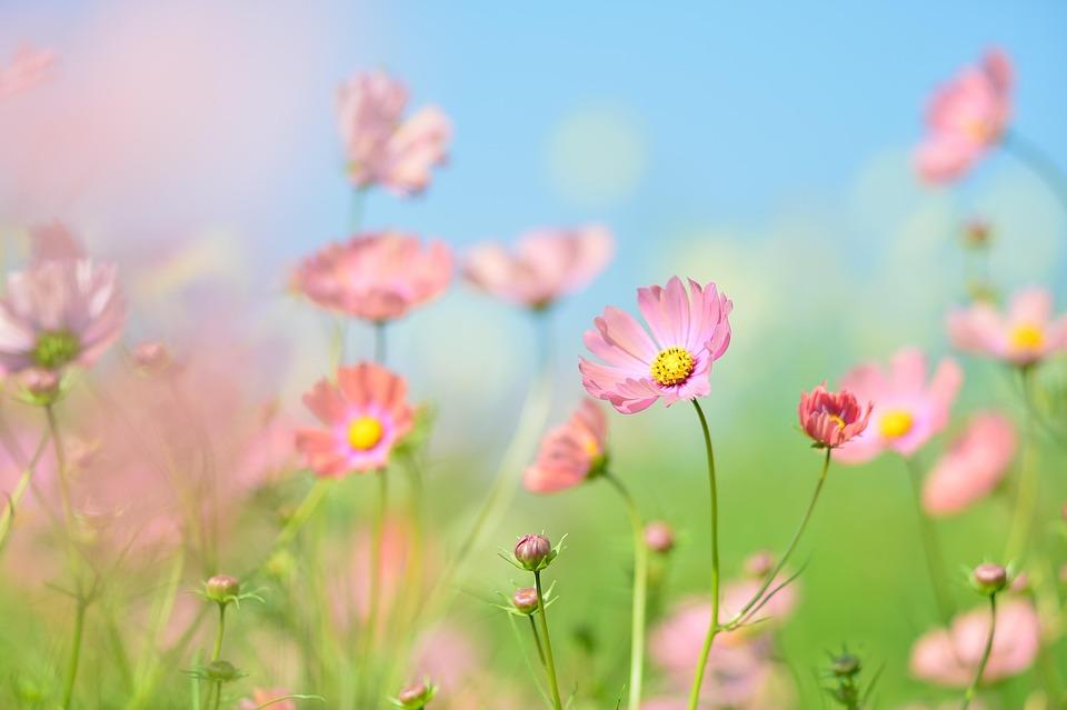 Plant, Flowers, Natural, Green, Flower Garden, Cosmos