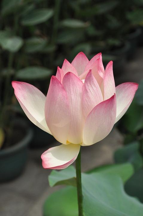 Lotus, Pink Lotus, Flower, Plant, Flowers