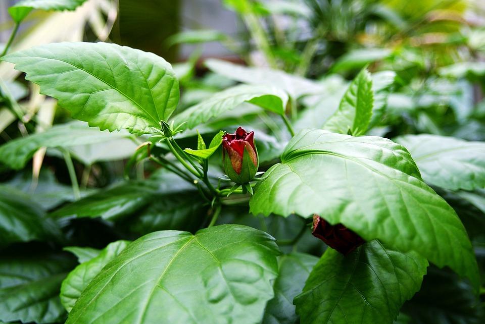Bud, Flower, Plant, Flowers, Fragrant, Nature, Macro