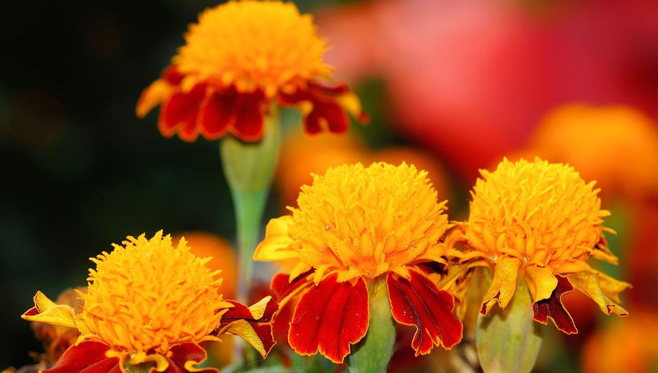 Marigold, Plant, Flowers, Nature, Color, Garden, Orange