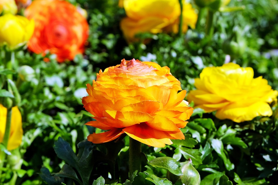 Flowers, Ranunculus, Colorful, Plant, Spring
