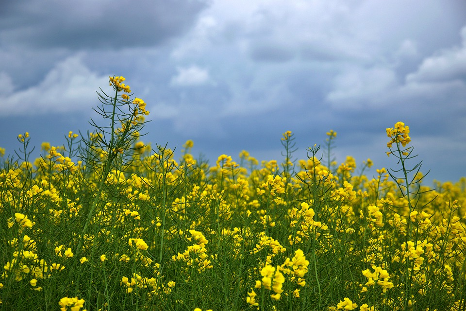 Field, Rapeseed, Plant, Flowers, Agriculture, Sky