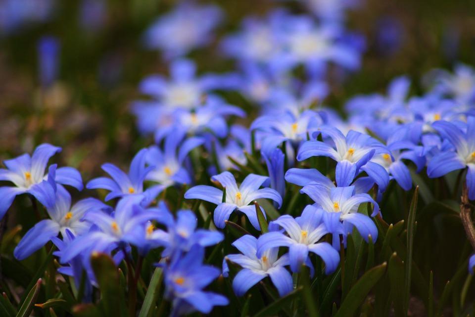 Flowers, Blue, Beautiful, Garden, Nature, Plant, Spring