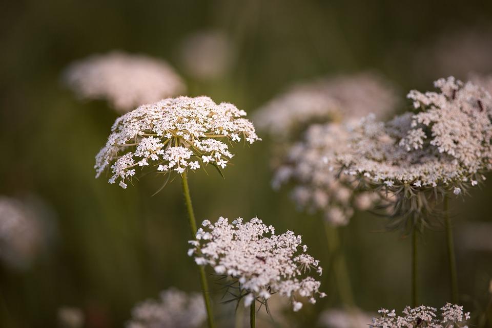 Wild Carrot, Flowers, White, Plant, Wild Plant
