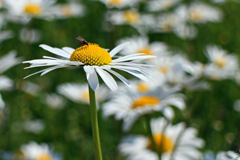 Daisies, Flowers, Plant, Bloom, White, Wild Flowers