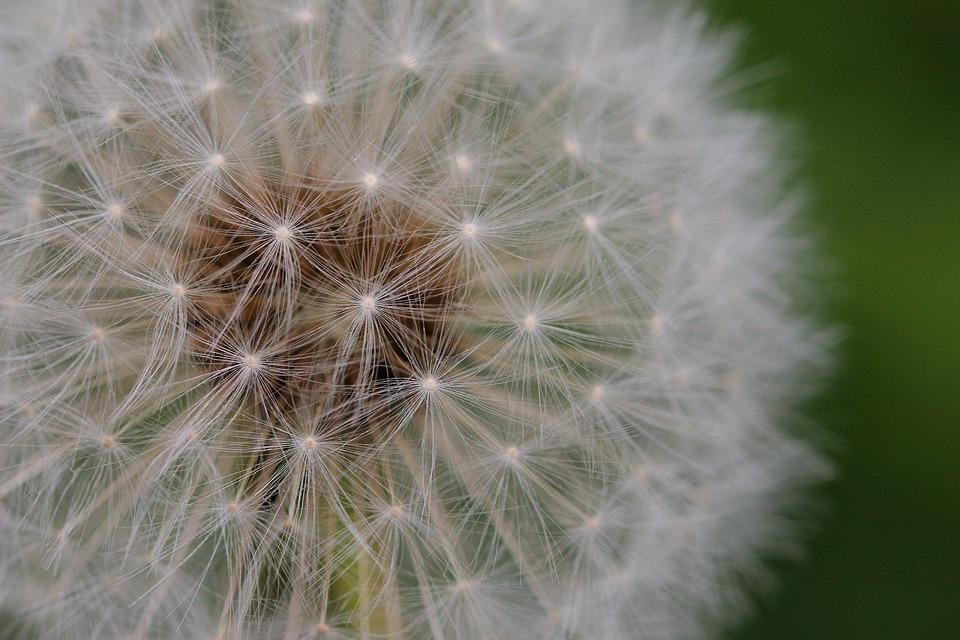 Dandelion, Fluffy, Seeds, Plant, Flower, Nature, Growth