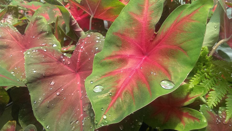 Botanical, Leaves, Nursery, Water Drop, Plant, Foliage