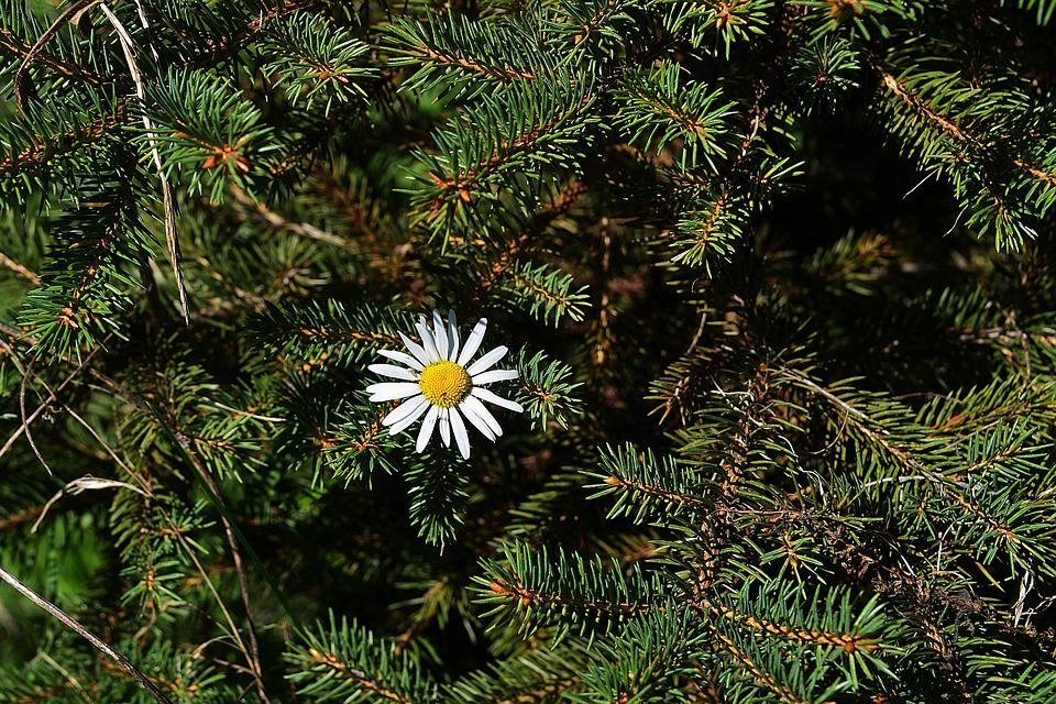 Marguerite, Spruce Branches, Forest, Plant