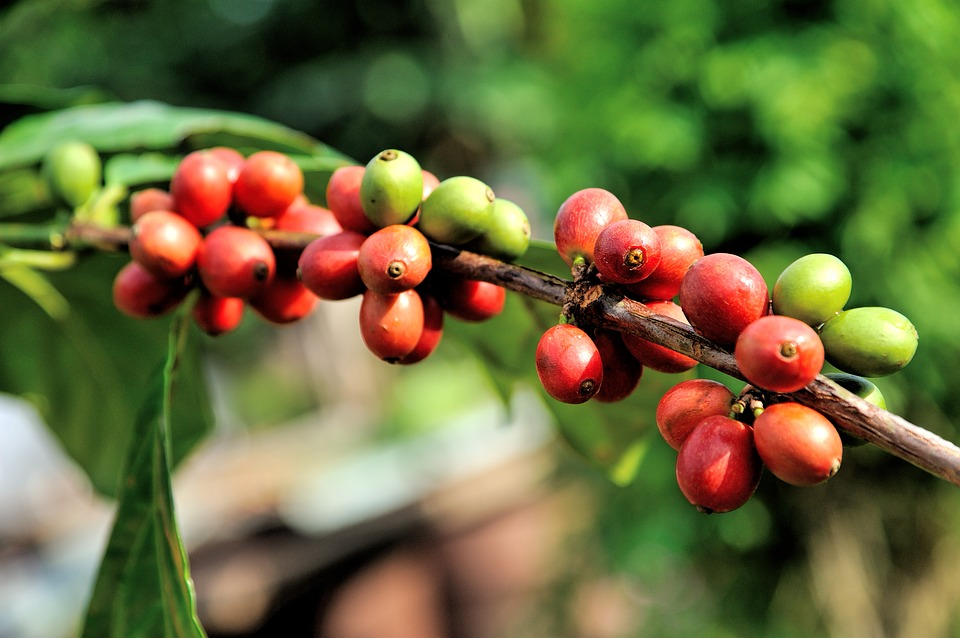 Bean, Farm, Tree, Arabica, Red, Plant, Green, Fresh