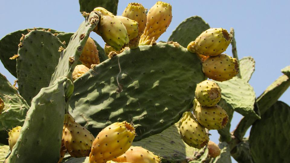 Prickly Pear, Cactus, Nature, Plant, Fruit, Summer