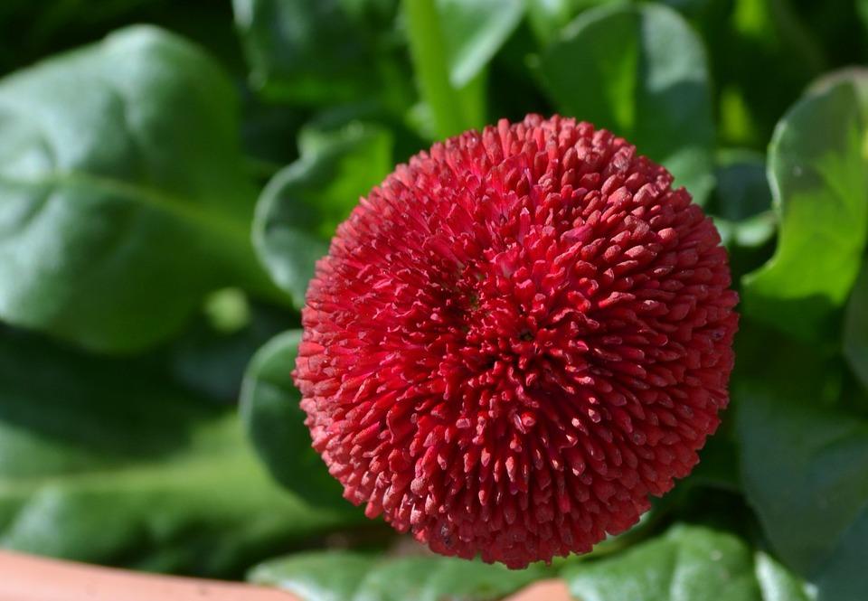 Leaf, Nature, Plant, Fruit, Garden, Spring, Bellis, Red