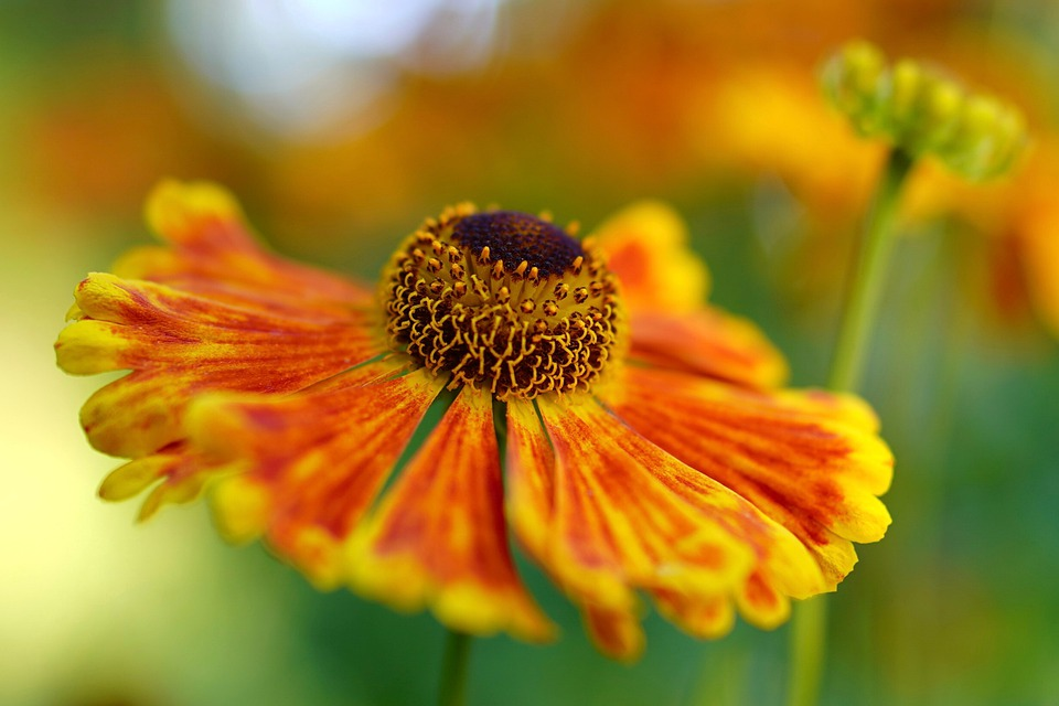 Flower, Petals, Plant, Blossom, Bloom, Gaillardia