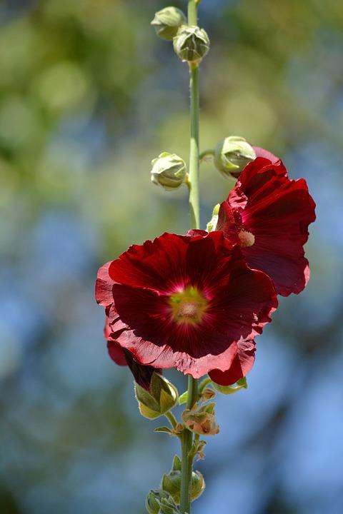 Red Flower, Plant, Blossom, Garden, Macro, Bright, Day