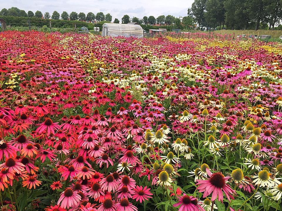 Echinacea, Flower, Field, Plant, Garden, Coneflower