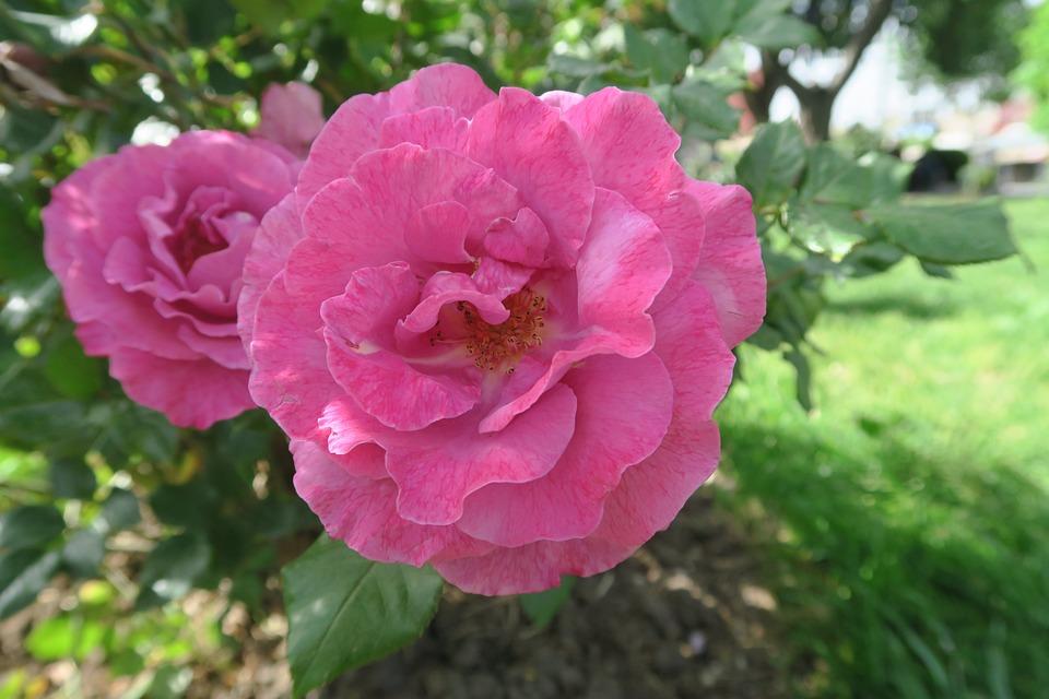 Rose, Nature, Flower, Plant, Garden, Leaves