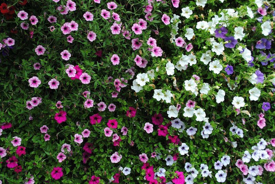 Flowers, Plant, Petunia, Garden